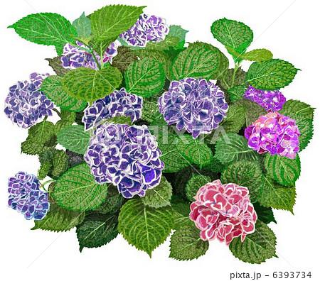 6月の花 はがき絵の写真素材 Pixta