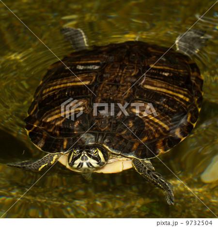 ヌマガメ科 水の写真素材 - PIXT...