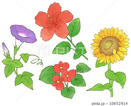 8月の花のイラスト素材 Pixta