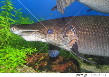 アリゲーターガー 古代魚の写真...