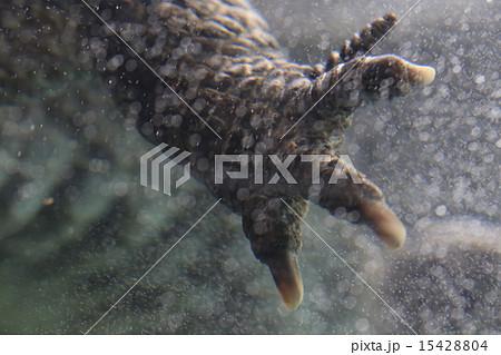 アリゲーター属の写真素材 - PIX...