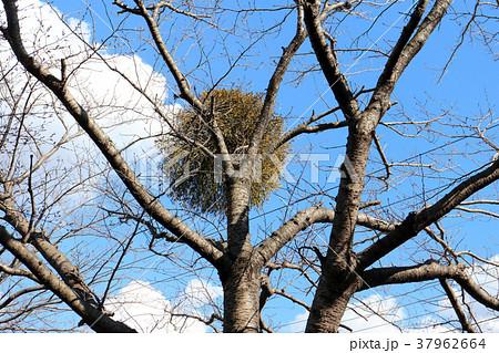 てんぐ巣病の写真素材 - PIXTA
